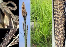 Carex acuta L. - Sistema informativo sulla flora vascolare dei Colli ...