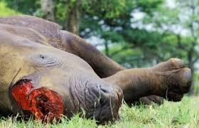 Rhinocéros : L'affrique du Sud et Vietnam luttent contre le braconnage Images?q=tbn:ANd9GcQT2BHDSZlQKlQfohadCV1hzPkOcsAkpMqZgTjeVuaMAQCGA9mV