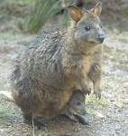 Images & Illustrations of pademelon