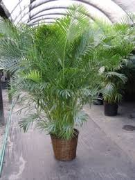 areca palm tree seeds very popular easy to grow a charming addition to any room charming office plants