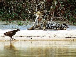 Resultado de imagem para onça do pantanal matogrossense