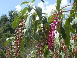 Phytolacca americana (American pokeweed) | Native Plants of North ...