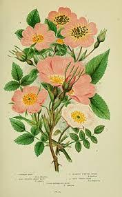 Rosa inodora - Wikipedia