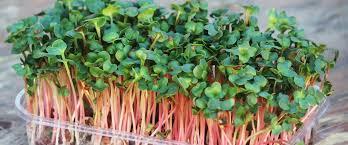 Доказано: Что нужно знать о <b>микрозелени</b> — ростках, которые ...