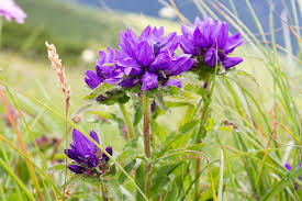 Campanula glomerata (Clustered Bellflower)