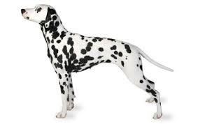 <b>Dalmatian Dog</b> Breed Information, Pictures, Characteristics & Facts ...