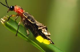 ผลการค้นหารูปภาพสำหรับ firefly