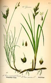 Carex mucronata – Wikipedia tiếng Việt