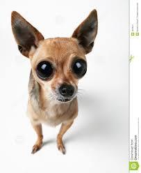 Resultado de imagem para chihuahua