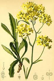 Biscutella laevigata - Wikispecies