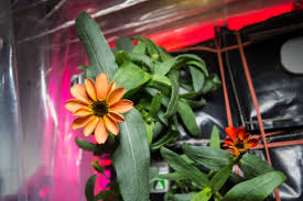 First <b>Flower</b> Grown in Space Station's Veggie Facility | NASA