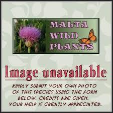 Wild Plants of Malta & Gozo - Plant: Melilotus elegans (Elegant Melilot)