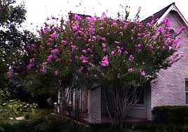 Image result for crepe myrtle trees