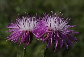 Centaurea jacea - Michigan Flora