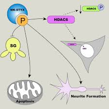 Pseudophosphatase MK‐<b>STYX</b>: the atypical member of the MAP ...