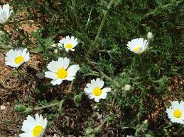 Anthemis mixta - Wikispecies