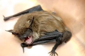 animal bites and rabies fort wayne allen county department of health bat