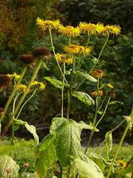 Heartleaf Oxeye, Telekia speciosa - Flowers - NatureGate
