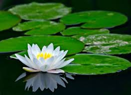 Image result for white water lily