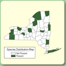 Hyssopus officinalis - Species Page - NYFA: New York Flora Atlas
