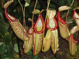 Image result for pitcher plant