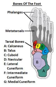 foot bonesdiagram showing the mid foot bones viewed from above