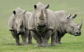 Image result for images of Northern White Rhinos