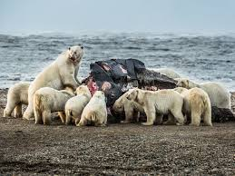 pictures polar bears throng village in search of whale polar bear picture eating whale carcass in alaska