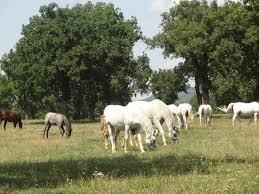 <b>Magnificent horses</b> - Review of Lipica Stud Farm - Kobilarna Lipica ...