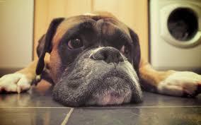 Image result for boxer dog kiss