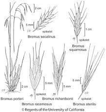 Bromus racemosus