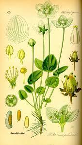 Parnassia palustris - Wikipedia