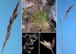 Agrostis rupestris All. subsp. rupestris - Portale alla flora del Parco ...
