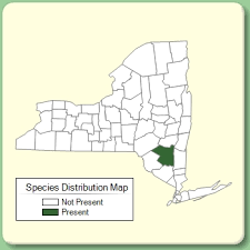 Cymbalaria pallida - Species Page - NYFA: New York Flora Atlas