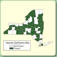 Valeriana officinalis - Species Page - NYFA: New York Flora Atlas