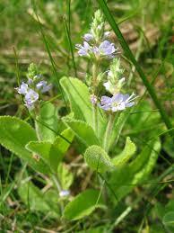 <b>Вероника</b> (растение) — Википедия