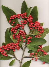 Cotoneaster - Wikipedia