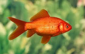 <b>Золотая рыбка</b>: виды, уход, содержание, размножение ...