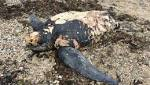 Huge leatherback turtle found washed up on beach