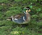 Images & Illustrations of Baikal teal