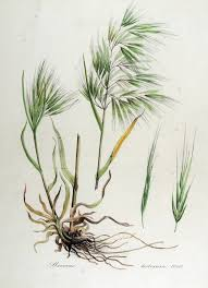 Bromus tectorum - Wikipedia