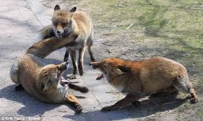 Image result for foxes fight