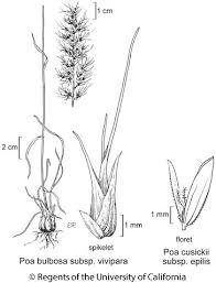 Poa bulbosa subsp. vivipara