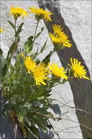Hieracium villosum - CalPhotos