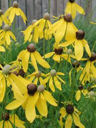 Ratibida pinnata Yellow Coneflower | Prairie Moon Nursery