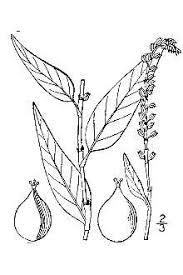 Plants Profile for Polygonum hydropiper (marshpepper knotweed)