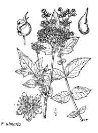 Sp. Filipendula ulmaria - florae.it