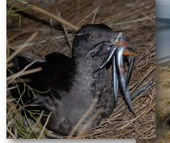 Image result for burrows: The Rhinoceros Auklets/ Cerorhincamonocerata/ North Pacific