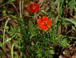 Species information: Tagetes patula - Flora of Zimbabwe