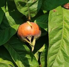 Mespilus germanica (Medlar) : MaltaWildPlants.com - the online ...
